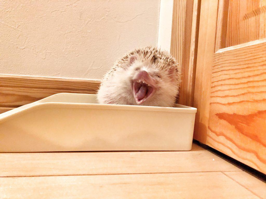 ハリネズミのあくび